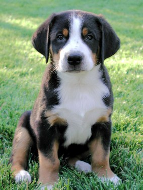 8dd6d-greater_swiss_mountain_puppies