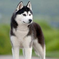 husky1
