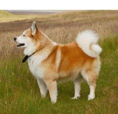 icelandic-sheepdog1