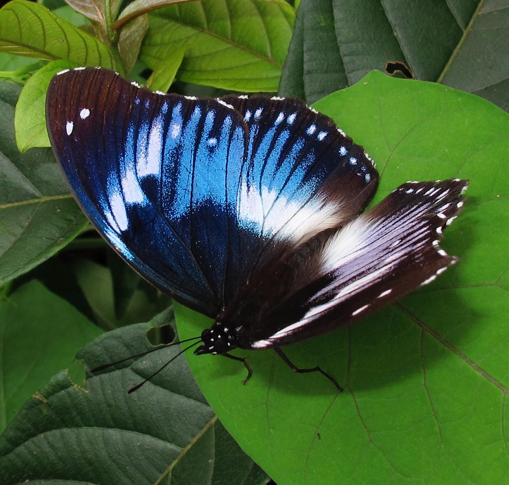 The Western Blue Beauty, Protogoniomorpha cytora